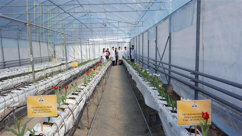 Cultivation of tulips in a greenhouse